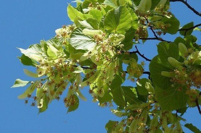 Tilia L., Linde, Baum des Jahres 2021